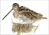(Common) Snipe
