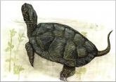 European Pond Terrapin (Tortoise)